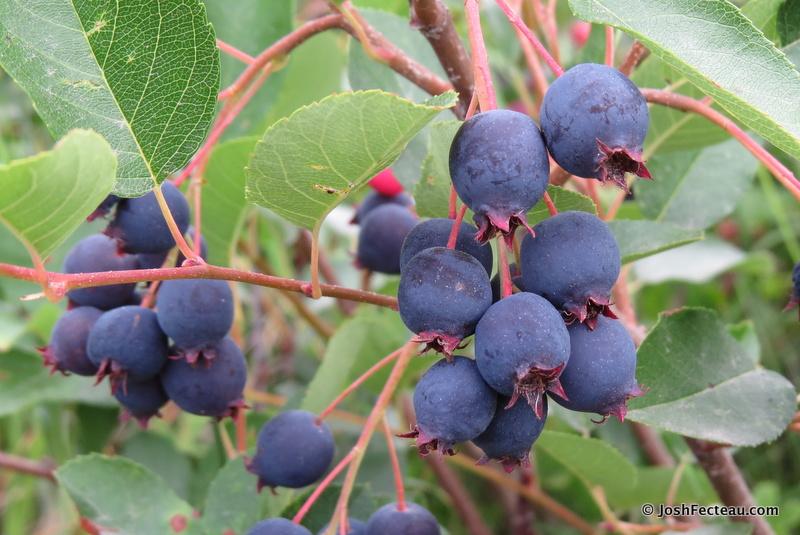 Photo of Shadbush fruit