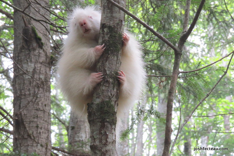 Photo of Albino Porcupine