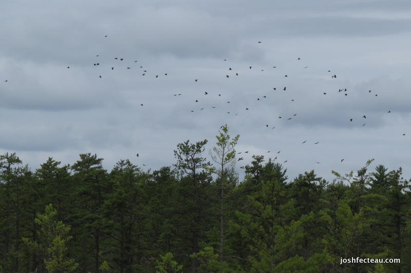 Photo of American Crow flock