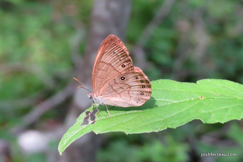 Photo of Appalachian Brown