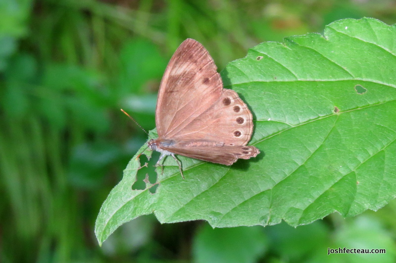 Photo of Appalachian Brown above