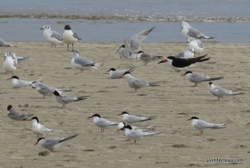 Photo of Black Skimmer with Terns and Gulls