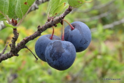 Photo of Beach Plum fruit