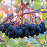 Photo of Nannyberry fruit cluster