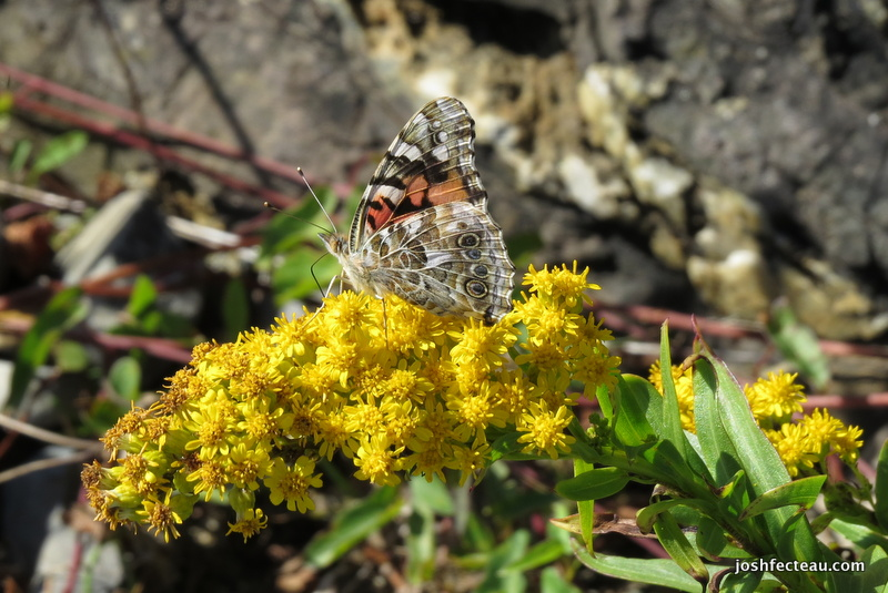 Photo of Painted Lady on Seaside Goldenrod