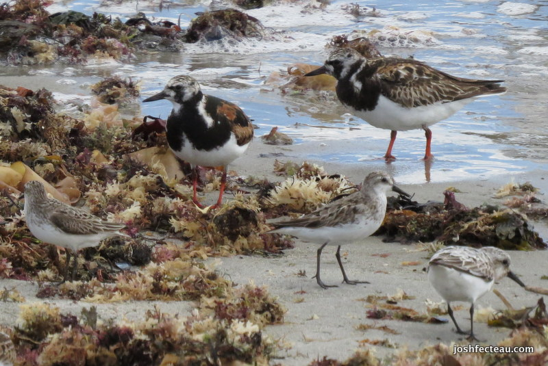 Photo of Ruddy Turnstones and Semipalmated Sandpipers