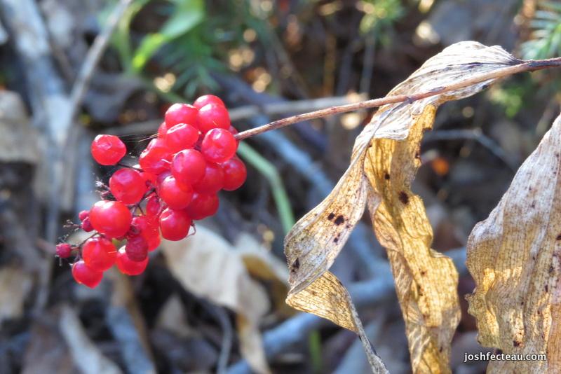 Photo of Feathery False Solomon's-seal fruit