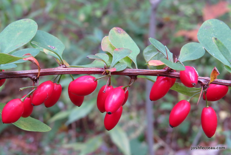Photo of Japanese Barberry fruit