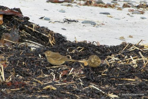 Photo of American Pipits