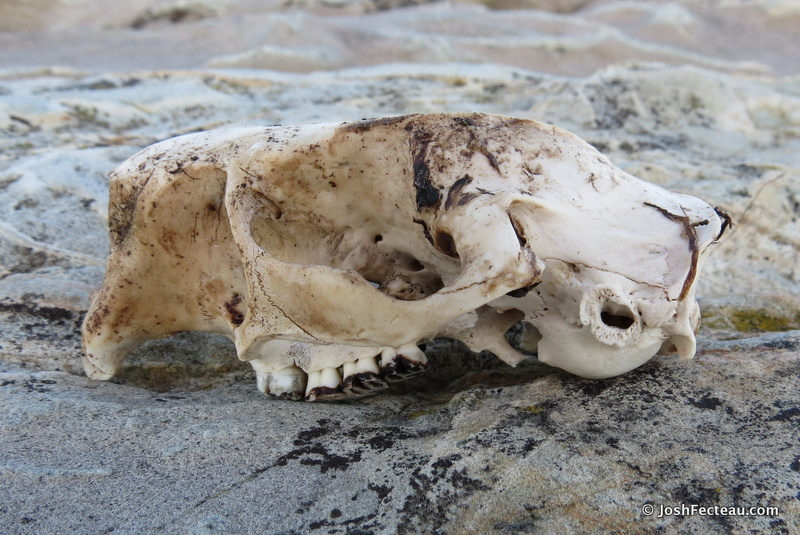 Photo of Porcupine Skull (side)