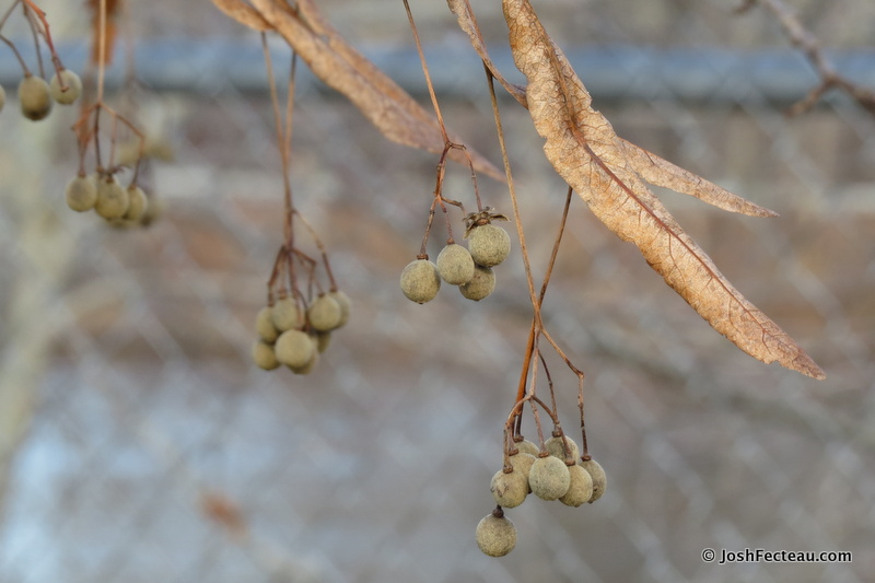 Photo of American Linden fruit