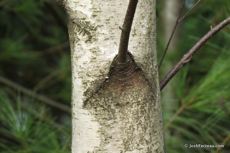 Photo of Gray Birch bark chevron