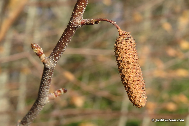Photo of Gray Birch twig and fruit