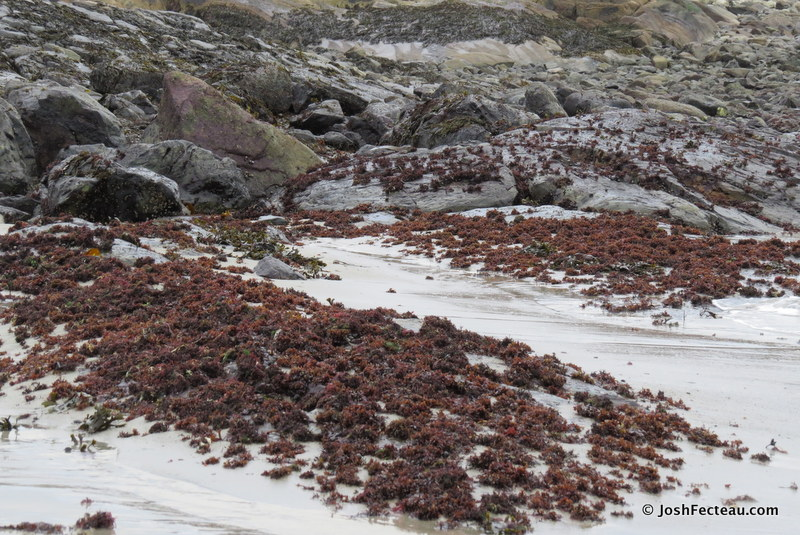Photo of Irish Moss beds