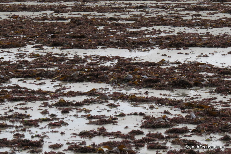 Photo of Irish Moss on the beach