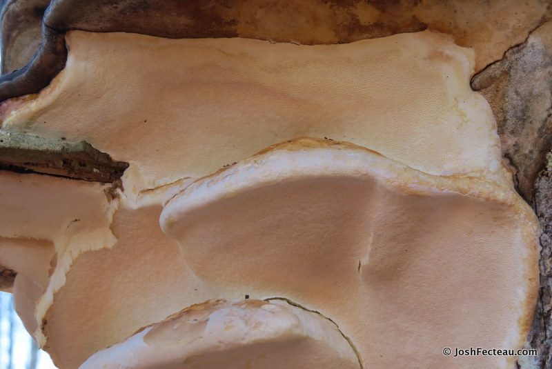 Photo of Red-banded Polypore pore surface