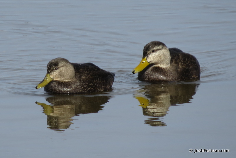 Photo of American Black Ducks