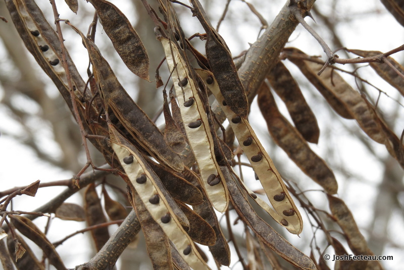 Photo of Black Locust seed pods