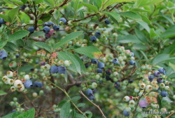 Photo of Highbush Blueberry