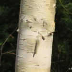 Photo of Paper Birch bark
