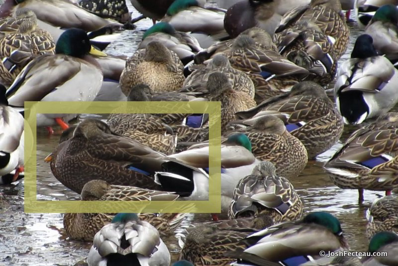 Photo of American Black Duck with Mallards