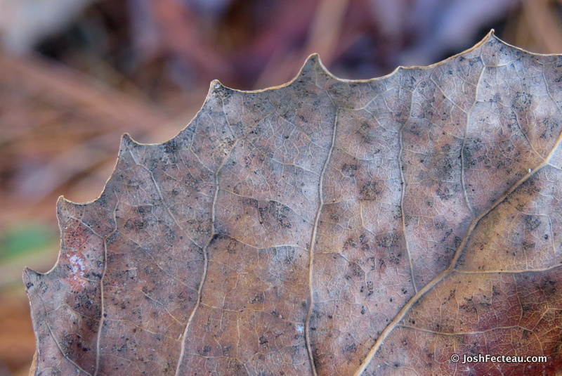 Photo of Big-toothed Poplar dried leaf