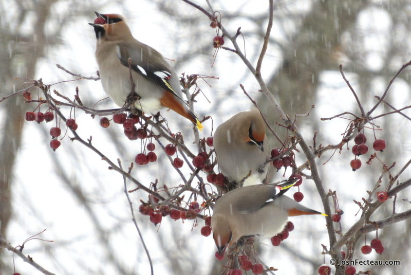 Photo of Bohemian Waxwings