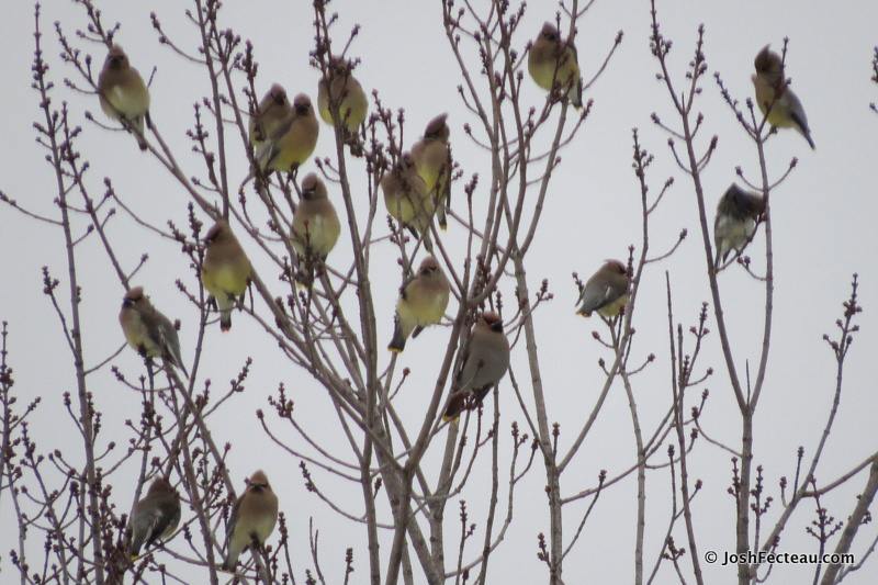 Photo of Bohemian Waxwing with Cedar Waxwings