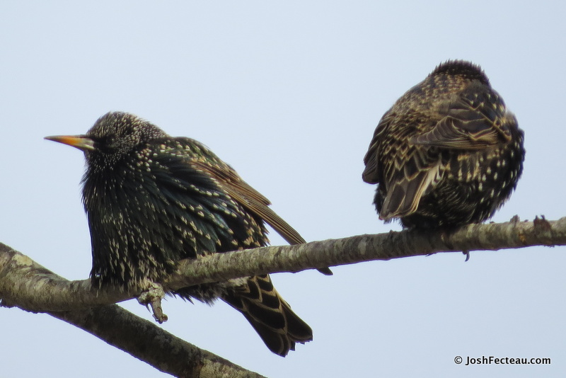 Photo of European Starlings