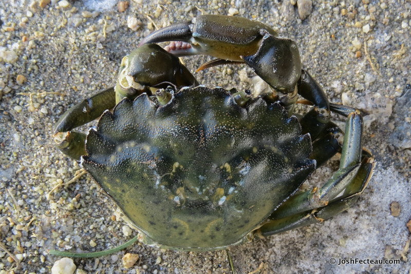 Photo of Green Crab