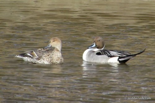 Photo of Northern Pintail pair