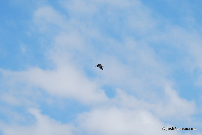 Photo of Wilson's Snipe in flight