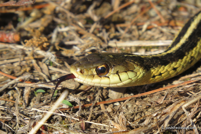 Photo of Common Garter Snake