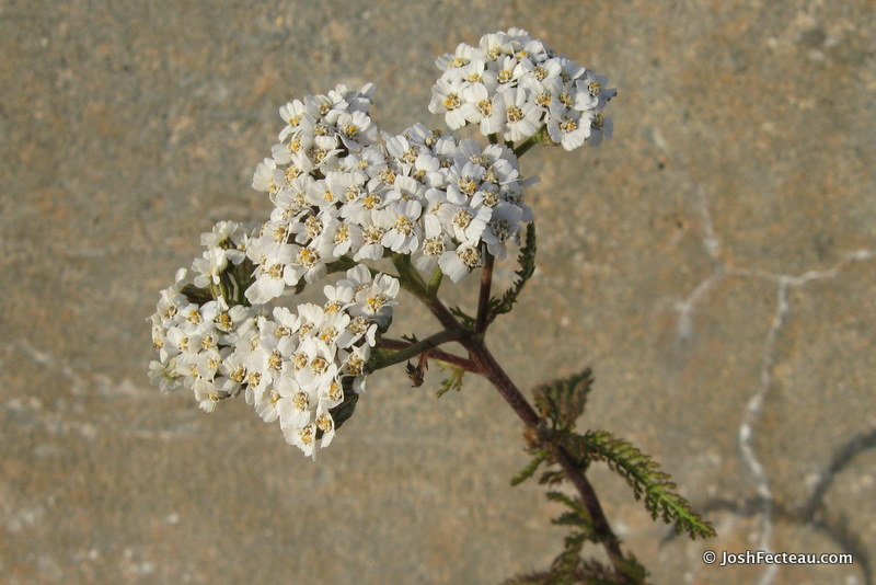 Photo of Common Yarrow (Achillea millefolium)