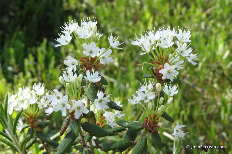 Photo of Labrador Tea flowers