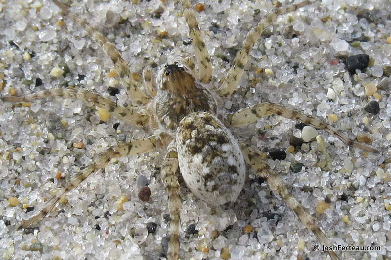 Photo of Beach Wolf Spider