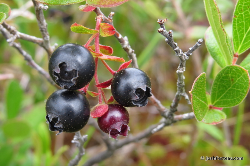 Photo of Dwarf Huckleberry fruit