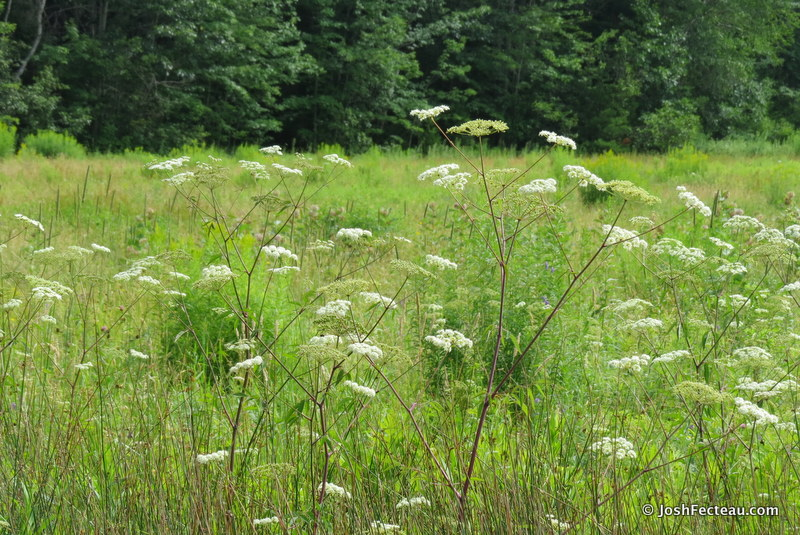 Photo of Spotted Water-hemlock