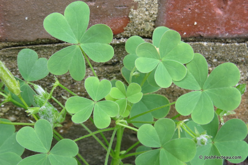 Photo of Wood Sorrel leaves