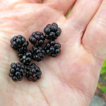 Photo of Bristly Blackberry handful