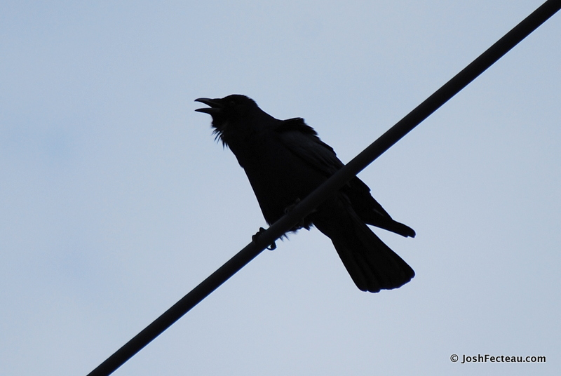 Photo of Fish Crow on wire
