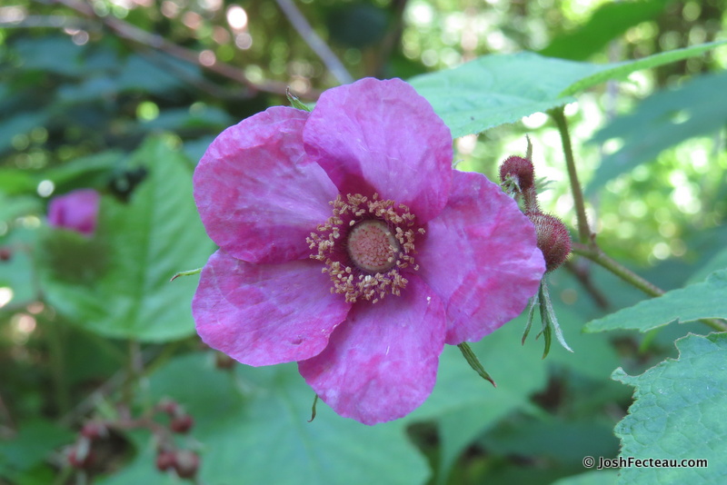 Photo of Flowering Raspberry