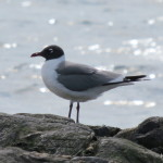 Photo of Laughing Gull (adult in May)