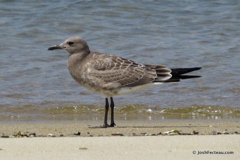 Photo of Laughing Gull (juvenile)