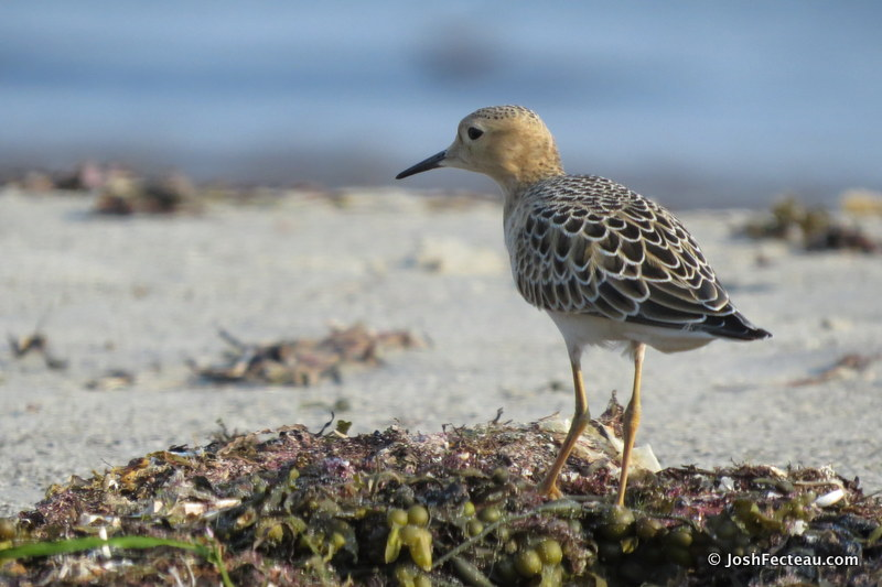 Photo of Buff-breasted Sandpiper
