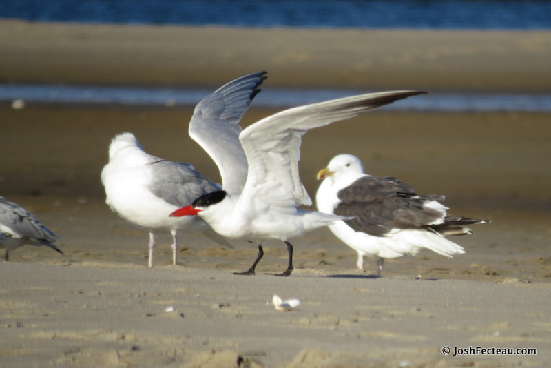 Photo of Caspian Tern with Herring and Great Black-backed Gull