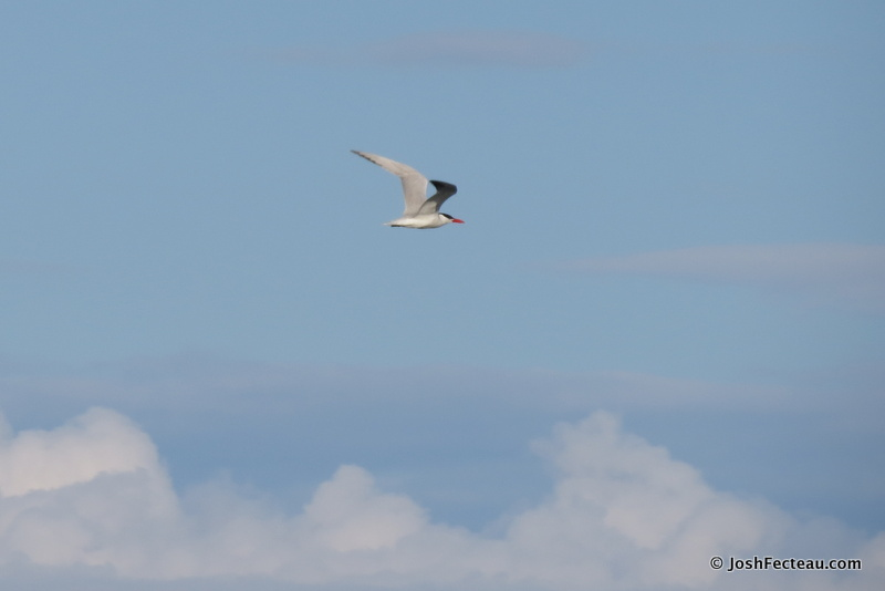 Photo of Caspian Tern in flight