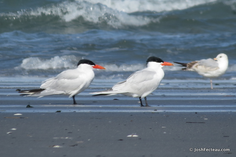 Photo of Caspian Terns with Ring-billed Gull