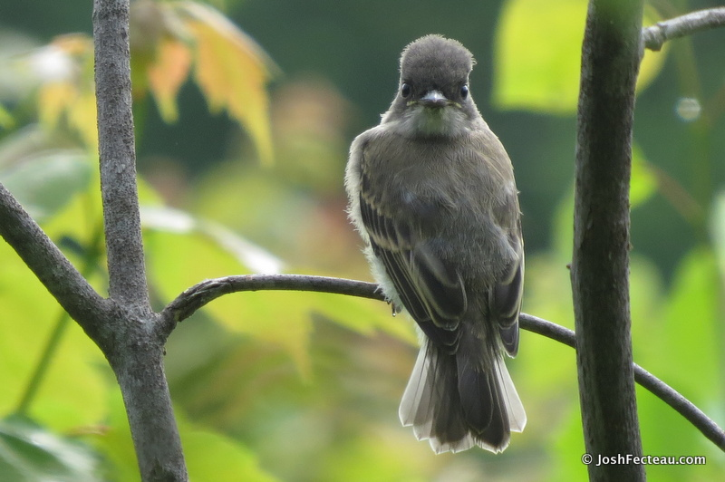 Photo of Eastern Phoebe