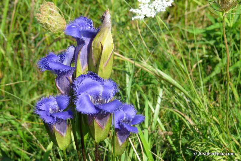 Photo of Greater Fringed-gentian
